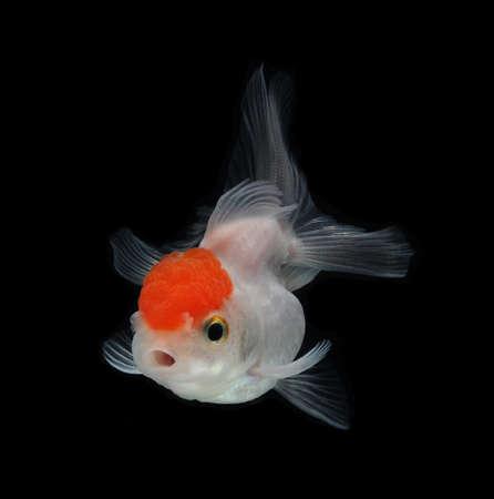 jelly fish: white goldfish on black background