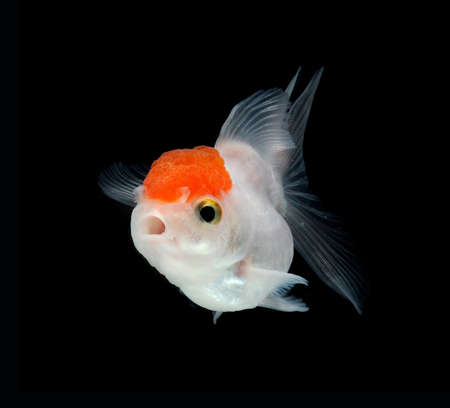 jelly head: white goldfish on black background