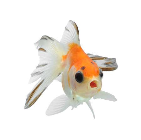 aquarium hobby: fancy goldfish isolated on white background