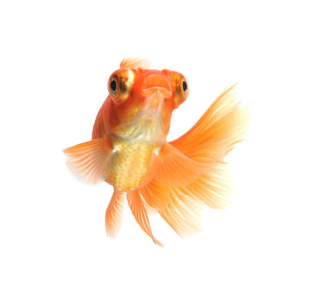exotic pet: goldfish isolated on white background