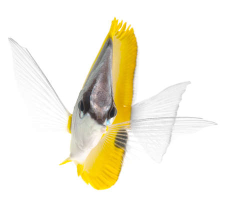butterflyfish: yellow longnose butterflyfish isolated on white background Stock Photo