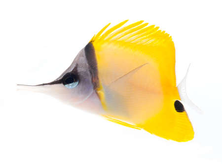 tropical tank: yellow longnose butterflyfish isolated on white background Stock Photo