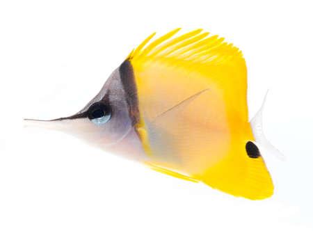 yellow longnose butterflyfish isolated on white background Stock Photo