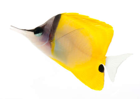 yellow longnose butterflyfish isolated on white background Stock Photo - 11108032