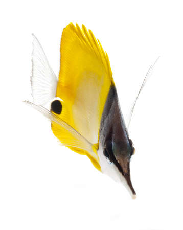 yellow longnose butterflyfish isolated on white background photo