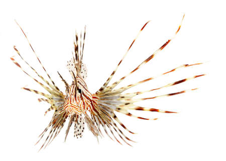 lion fish isolated on white background Stock Photo - 11108041