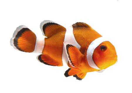 poisson clown isolé sur fond blanc