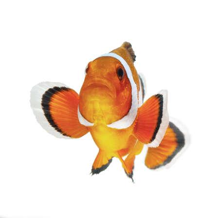 payaso: pez payaso aisladas sobre fondo blanco