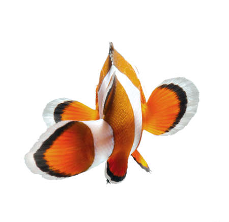 anemone: clown fish isolated on white background Stock Photo