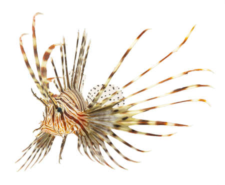 salt water fish: lion fish isolated on white background