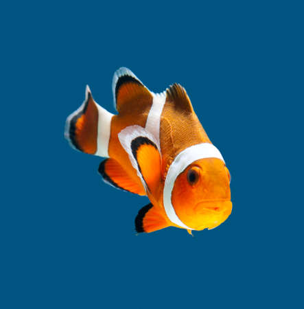 clown anemonefish: clown fish on blue background