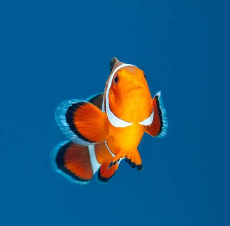 fish tank: clown fish on blue background