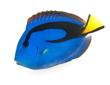 hepatus: blue tang , marine coral fish isolated on white background Stock Photo