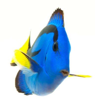 paracanthurus: blue tang , marine coral fish isolated on white background Stock Photo