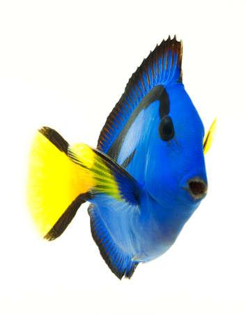 pez pecera: blue tang, los peces marinos de coral aisladas sobre fondo blanco Foto de archivo