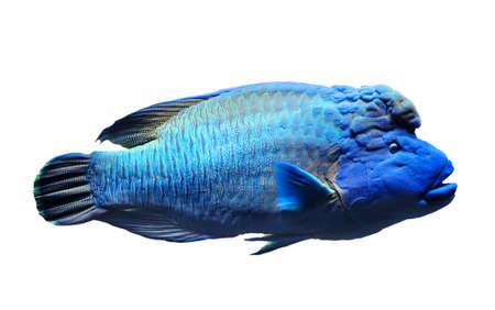 napoleon fish: Napolean fish isolated on white background