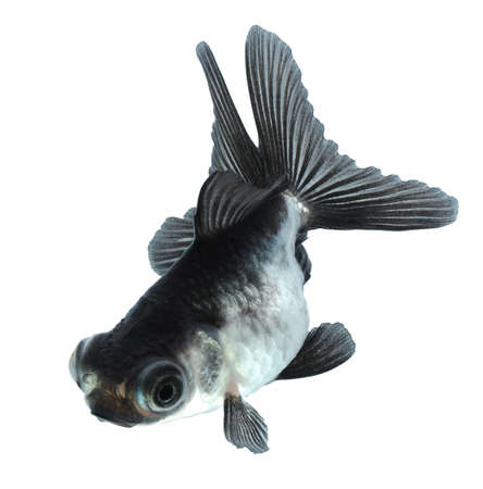 black moor: silver goldfish isolated on white background