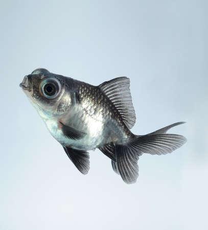 dumb: silver goldfish Stock Photo