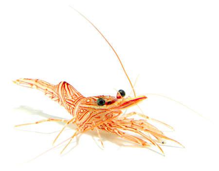 tropical tank:  hinge-beak shrimp, camel shrimp, dancing shrimp isolated on white background