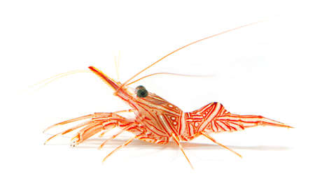 hinge-beak shrimp, camel shrimp, dancing shrimp isolated on white background photo