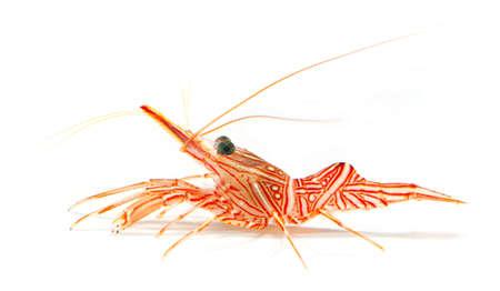 hinge-beak shrimp, camel shrimp, dancing shrimp isolated on white background