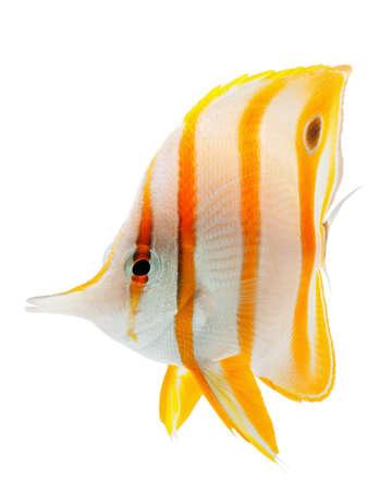 chaetodontidae: beak coralfish, copperband butterflyfish, isolated on white Stock Photo