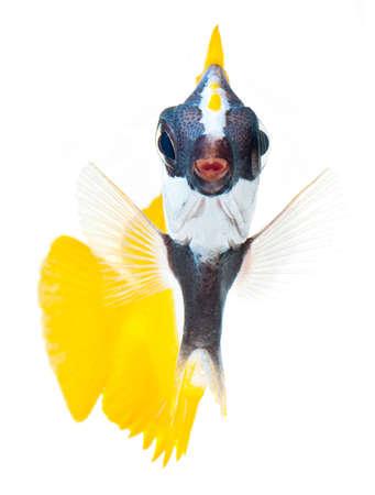 reef fish, foxface tabbitfish, isolated on white background Stock Photo - 11154879