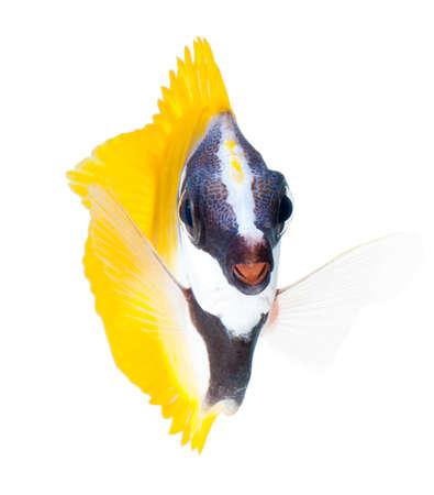 rabbitfish: reef fish, foxface tabbitfish, isolated on white background