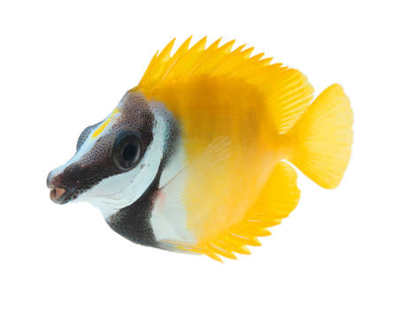 salt water fish: reef fish, foxface tabbitfish, isolated on white background