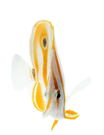 salt water fish: beak coralfish, copperband butterflyfish, isolated on white Stock Photo
