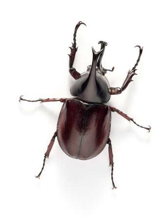 rhino beetle bug isolated on white background photo