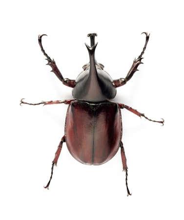 escarabajo: bug escarabajo rinoceronte aislado sobre fondo blanco Foto de archivo