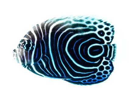 pomacanthus imperator: Emperor Angelfish, Pomacanthus Imperator, reef fish Stock Photo