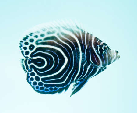 Emperor Angelfish, Pomacanthus Imperator, reef fish Stock Photo - 11261756