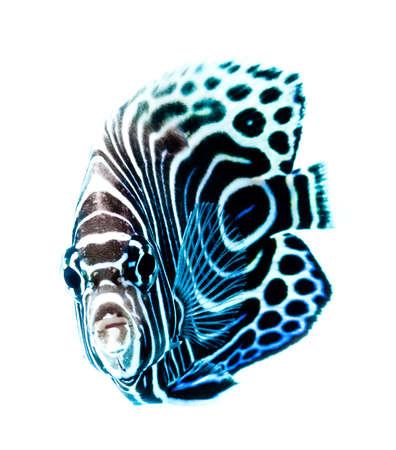 aquarium hobby: Emperor Angelfish, Pomacanthus Imperator, reef fish Stock Photo