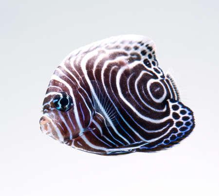 imperator: Emperor Angelfish, Pomacanthus Imperator, reef fish Stock Photo