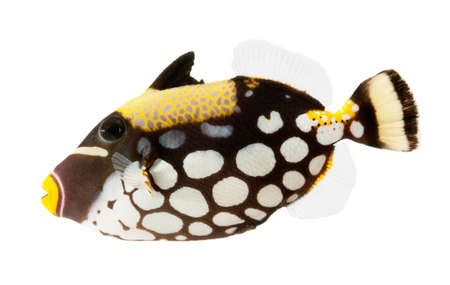 balistoides conspicillum: clown triggerfish, reef fish, isolated on white background  Stock Photo