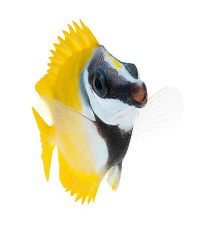 rabbitfish:  reef fish, foxface tabbitfish, isolated on white background  Stock Photo