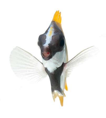 reef fish, foxface tabbitfish, isolated on white background Stock Photo - 11261770
