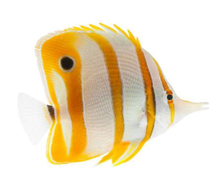 Schnabel coralfish, Kupferstreifen butterflyfish, isoliert auf weiß