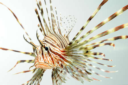 lion fish close up Stock Photo - 11261775