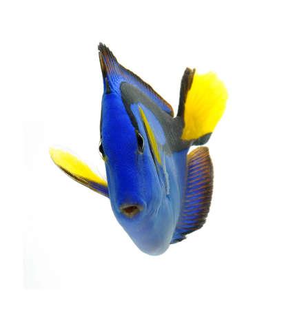 블루 탕, 해양 산호 물고기 흰색 배경에 고립
