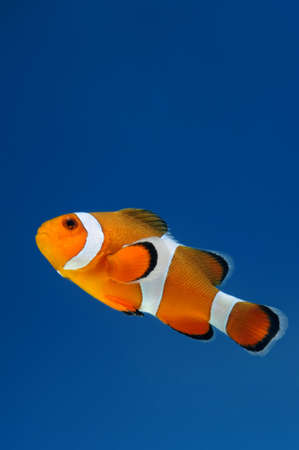 clown fish or anemone fish on blue background  photo