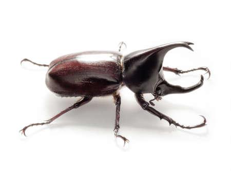 Nashorn käfer auf weißem Hintergrund