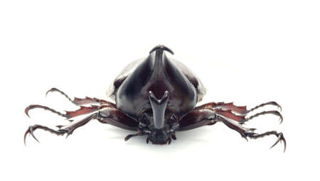rhino beetle bug isolated on white background  photo