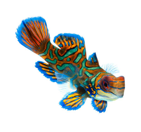 le poisson mandarin isol� sur fond blanc photo