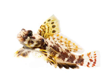 dragonet: dragonet fish isolated on white background