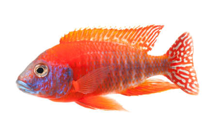 pez pecera: roja peces cíclidos, peces de color rojo rubí de pavo real, aisladas sobre fondo blanco