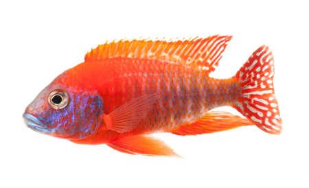 pez pecera: roja peces c�clidos, peces de color rojo rub� de pavo real, aisladas sobre fondo blanco