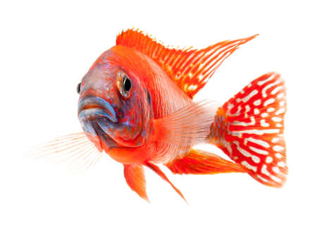 peacock cichlid: red cichlid fish, ruby red peacock fish, isolated on white background